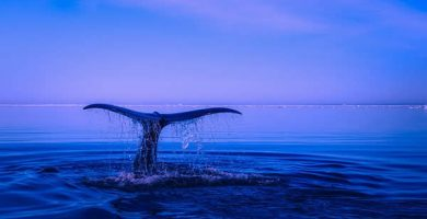 whale 390x200 - TEXT IN ENGLISH - DO WHALES SLEEP? #075